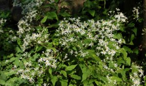 Ein weißer Blütentraum: Beim Gestalten des kleinen Gartens darf die Aster nicht fehlen.