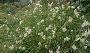 Die Schnee-Hainsimse (Luzula nivea) passt sowohl in den Bauerngarten als auch in moderne Gärten