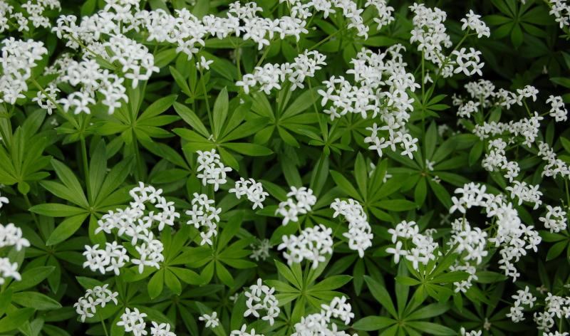 Der Waldmeister Galium odoratum ist nicht nur eine tolle Idee für den kleinen Garten, sondern lässt sich auch zur Bowle verarbeiten.