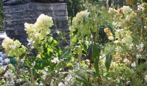 """Die aufrecht wachsende und horstbildende Spornblume """"Albus"""" (Centranthus ruber) verschönert mit ihren üppigen Blütenrispen."""