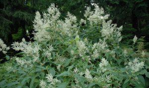 Wie eine Wolke schweben die Blüten der Johanniswolke (Aconognon plymorphum) über der Pflanzung.
