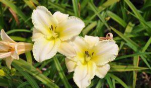 Die Taglilie (Hemerocallis) besticht mit ihren oft mehrfarbigen, stern- bis glockenförmigen Blüten.
