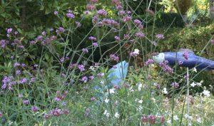 Das Eisenkraut (Verbena officinalis) stammt eigentlich aus Südamerika, woraus sich erklärt, dass die Pflanze nur bedingt winterhart ist