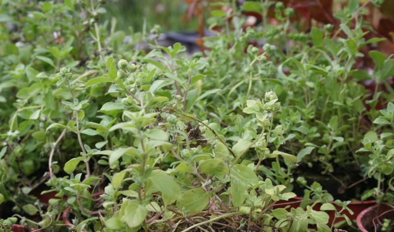 Wenn Sie einen Vorgarten gestalten wollen, von dem Sie nicht nur optisch begeistert sind, sondern auch einen tatsächlichen Nutzen haben, ist Majoran (Origanum majorana) ideal.