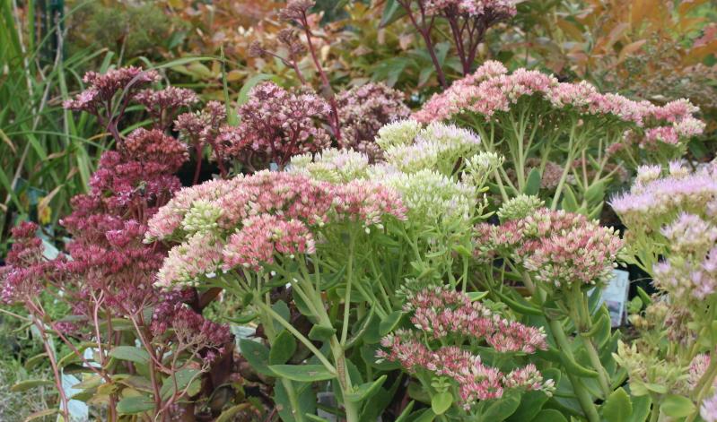 Gibt es Pflanzen, die genügsamer sind als der Mauerpfeffer (Sedum telephium)?