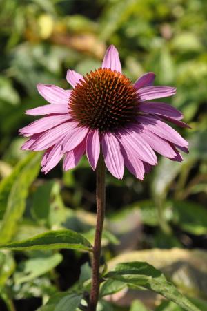 Der Gelbe Sonnenhut oder auch der Purpursonnenhut (Echinacea purpurea) ist für den Vorgarten ideal.