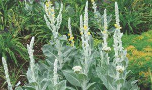 Königskerze (Verbascum phoeniceum) wird nur zwischen 30 und 80 cm hoch.