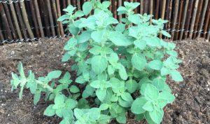 Oregano (Origanum vulgare) ist immer zufrieden und wird sich nie durch mangelndes Wachstum über schlechte Pflegebedingungen beschweren.