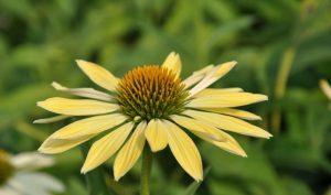 Ob als gelbe oder purpurrote Variante: Sonnenhut (bekannt als Echinacea) ist eine ideale Pflanze für alle Pflanzideen.