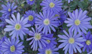 Normalerweise blüht das Balkan-Windröschen zwischen März und April, dabei zeigt es wunderschöne Farbnuancen mit Weiß, Blau, Violett oder zartem Rosa.