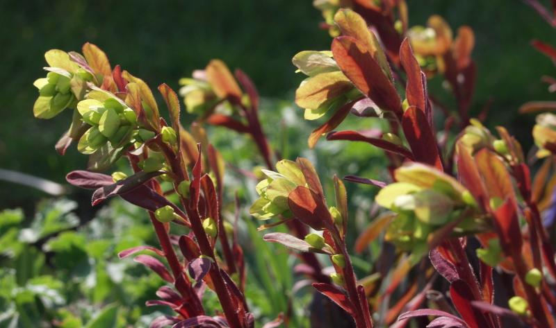 Die Wolfsmilch (lateinisch Euphorbia) kommt in verschiedenen Sorten daher.