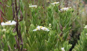 Das Schöne an der Aster: Sie blüht oft bis in den November hinein und erfreut uns mit ihrer Farbenfreude im grauen Alltag.