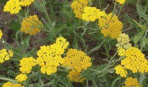 Sie locken Insekten an, daher gilt die Goldgarbe auch als ideale Insektenpflanze.