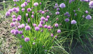 Schnittlauch (lat. Allium schoenoprasum) wird im März ausgesät oder durch Teilung vermehrt.