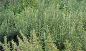 """""""Rosmarinus officinalis"""" heißt der hier als Rosmarin bekannte Kräuterfreund, der im Freiland bis zu zwei Meter hoch werden kann."""