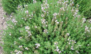 Thymus vulgaris heißt der Thymian mit botanischem Namen und er zeigt sich im Kräutergarten als durchaus optisch ansprechend.