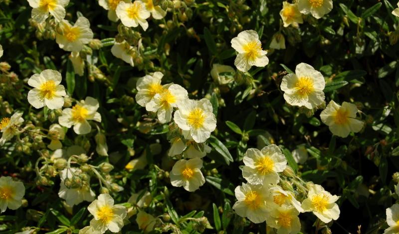 """Das Sonnenröschen trägt den lateinischen Namen """"Helianthemum"""" und fühlt sich auf kleinen Mauern, im Steingarten oder an Beeträndern besonders wohl."""