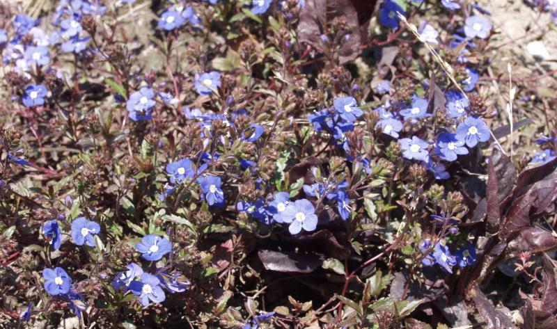 """Die schlanken Ähren des Ehrenpreis """"Blauriesin"""" (Veronica longifolia) mit den leuchtend blauen Blütentrauben sind in jedem Staudenbeet ein Blickfang."""