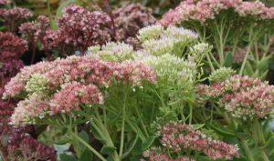 Das Fettblatt bevorzugt einen sonnigen Standort in eher trockenem, magerem und gut durchlässigem Boden.