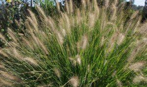 Mit seinem eleganten Wuchs eignet sich das Lampenputzergras bestens als Solitärpflanze