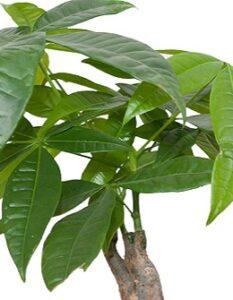 Affenbrotbaum: Die urige Zimmerpflanze ( Fotolizenz-shutterstock: Kharkhan Oleg )