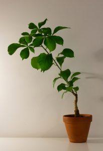 Auch wenn der Affenbrotbaum sehr robust ist, so kann er dennoch von Schädlingen befallen werden.(Fotolizenz- shutterstock_Eero P. Kangas)