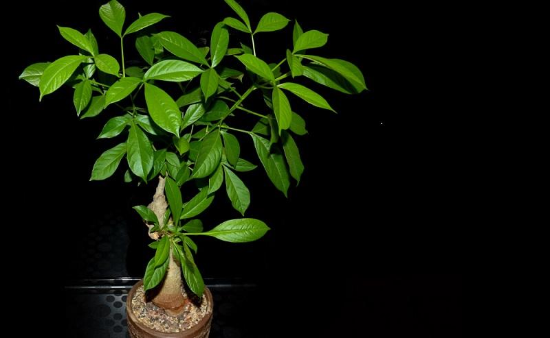 Der Beschreibung nach würde der Affenbrotbaum auf den ersten Blick nicht unbedingt als Zimmerpflanze gesehen werden. Die Pflanze ist aber tatsächlich sehr gut als dekoratives Element für den Innenbereich geeignet.(Fotolizenz-shutterstock_ Andrej Jakubik )