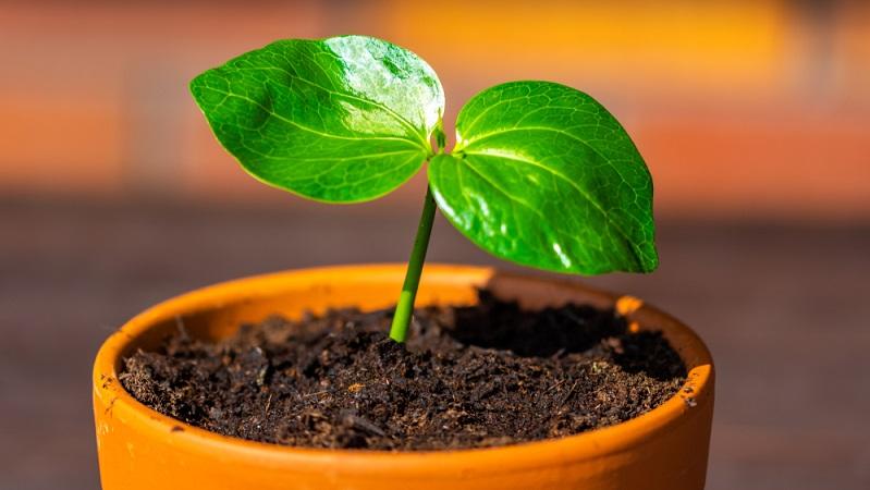 Auch wenn der Affenbrotbaum recht anspruchslos ist, sollten einige Grundlagen beachtet werden, damit die Pflanze sich wohlfühlt und wächst. (Fotolizenz-shutterstock: Egeris_)