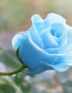 Blaue Blume: Die Top 5 für den Garten & Balkon ( Foto: Shutterstock-Serhii Brovko )