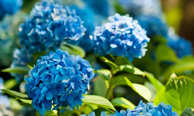 Auch wenn blaue Blumen in der Natur eher selten zu finden sind, so gibt es sie und sie sind teilweise sogar recht anspruchslos. (Foto: Shutterstock-Roxana Bashyrova )