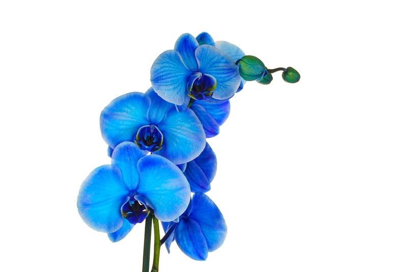 Bei der Auswahl von einer kleinen Aufmerksamkeit für das Date können blaue Blumen einbezogen werden.  (Foto: shutterstock_MKstudio)