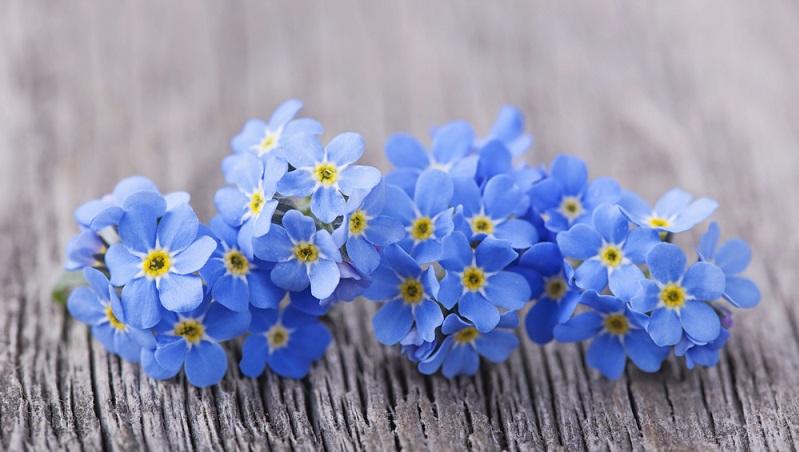 Werden blaue Schnittblumen verschenkt oder auch als Blickfang für die eigene Wohnung ausgewählt, kommt die Frage auf, wie sich die Haltbarkeit effektiv verlängern lässt. ( Foto:  shutterstock_Elena Schweitzer )