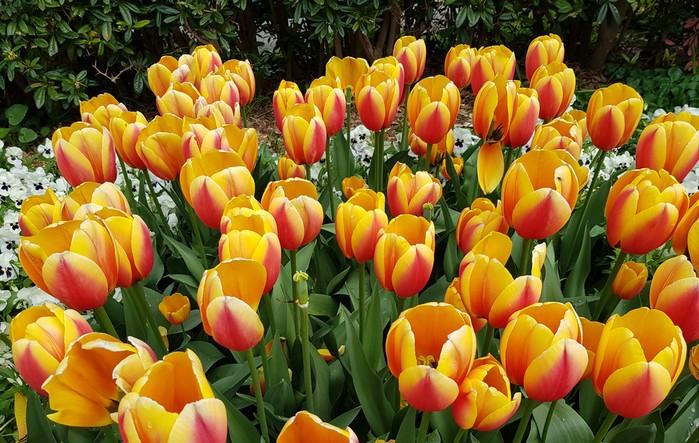 Schöne Blumen schenken ist einfach: ein Blumenstrauß mit gelben und roten Tulpen ist jedem Anlass angemessen und bezaubert immer. (Foto: shutterstock - guentermanaus)